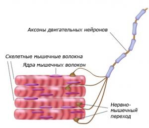 Sceletal-muscle(1)
